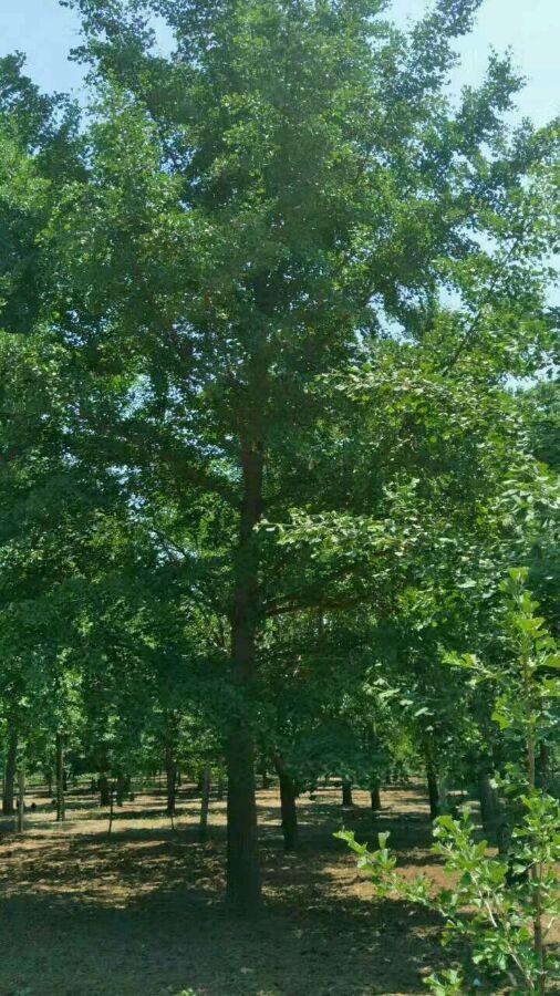 25公分银杏树