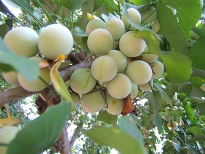 新栽银杏树几年结果?