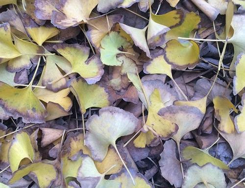 银杏树叶子发黄、变焦防治办法