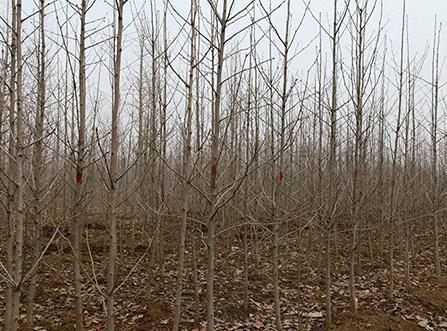 2米高银杏树苗多少钱一棵「2米银杏树价格」